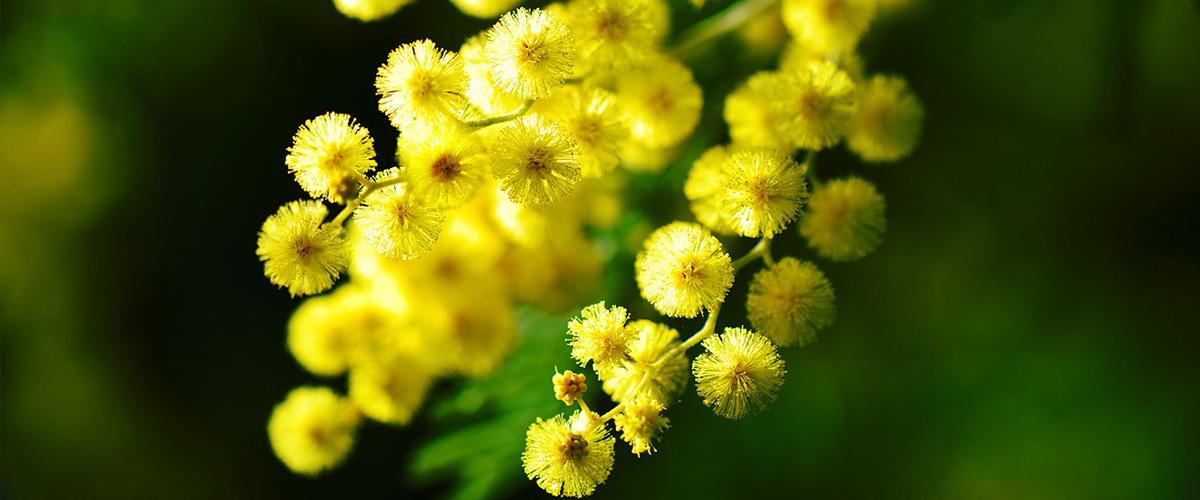 Festa della Mimosa - Ai Guiet